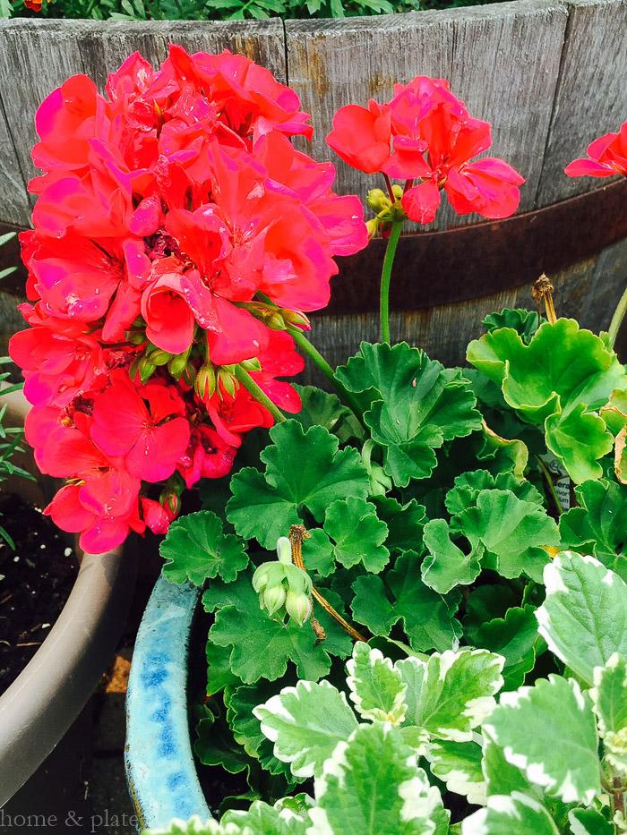 Simple patio container gardens home plate fresh ideas simple recipes - Care geraniums flourishing balcony porch ...