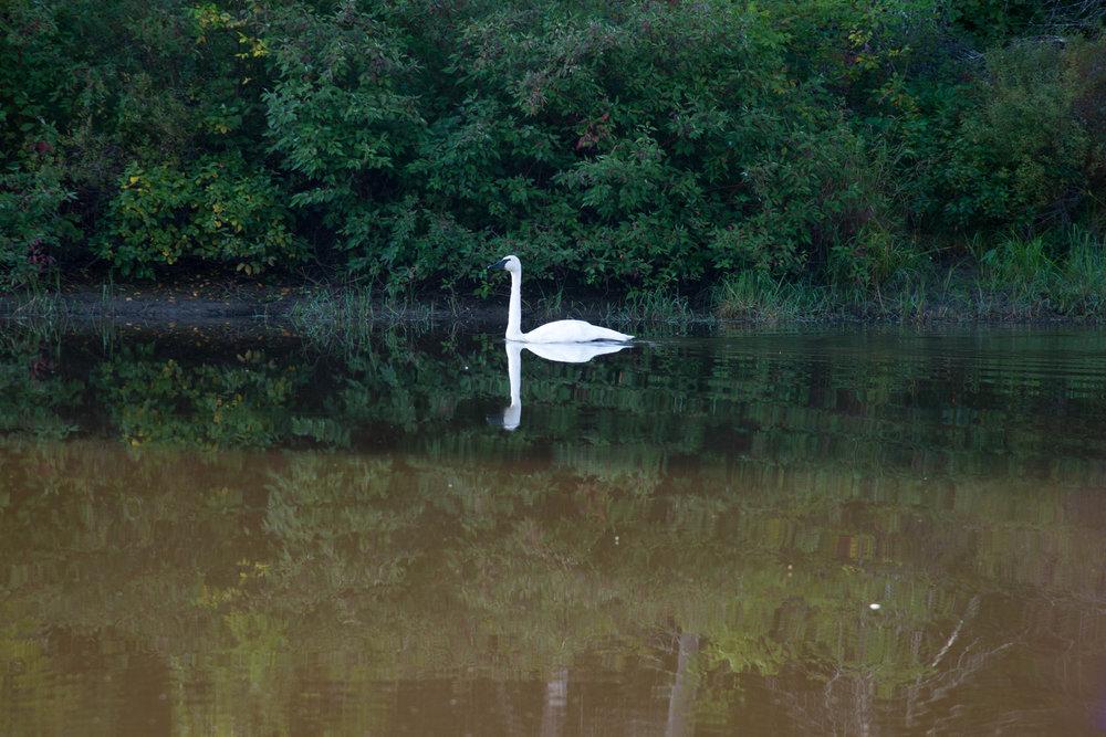 swan-2.jpg