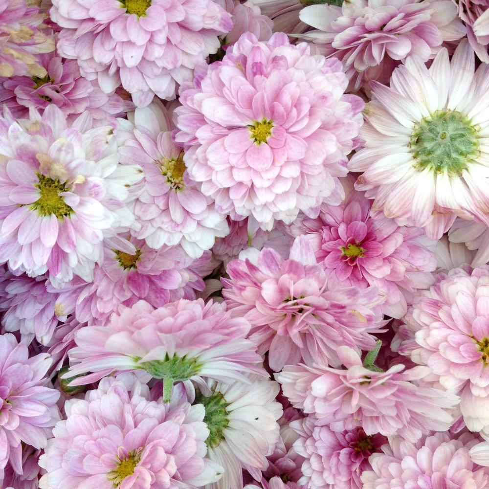 Soft Pink Lavendar Mums