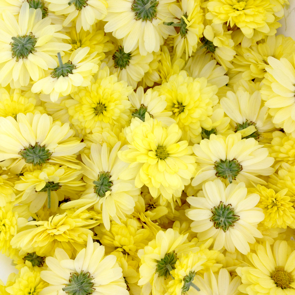 Soft Yellow Mums