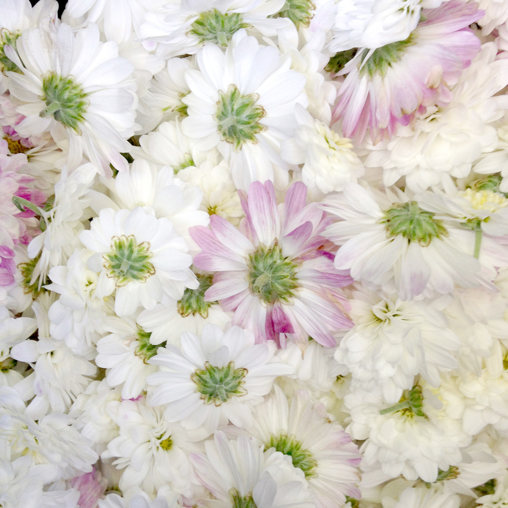 White and Soft Pink Lavendar Mums