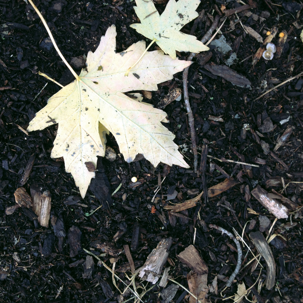 Rich Soil with Pale Maple Leaves, Saint Charles, IL