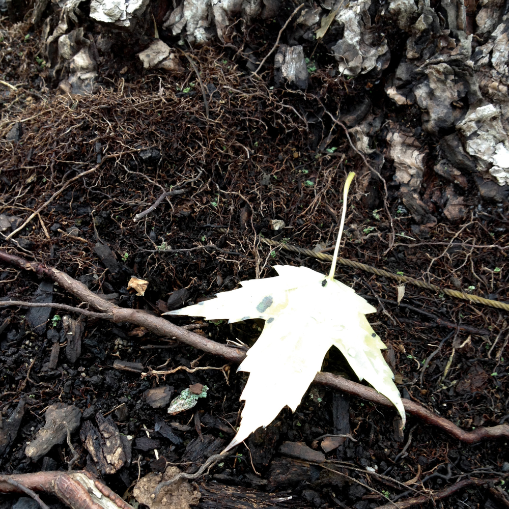 Pale Maple Leaf with Rough Earth, Saint Charles, IL