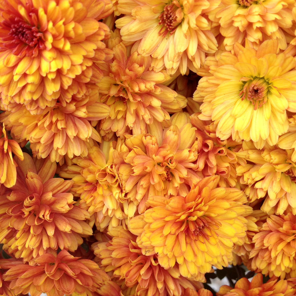 Rusty Orange Mums