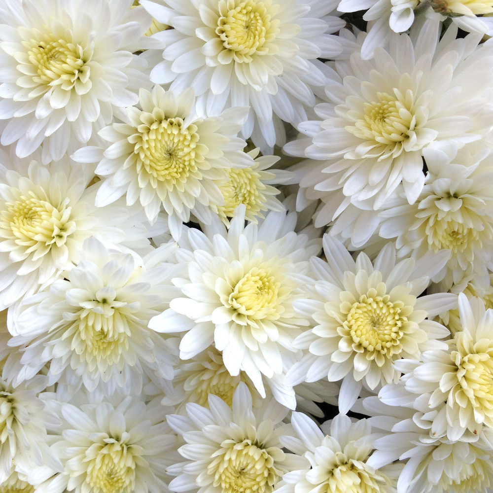 White and Soft Yellow Mums