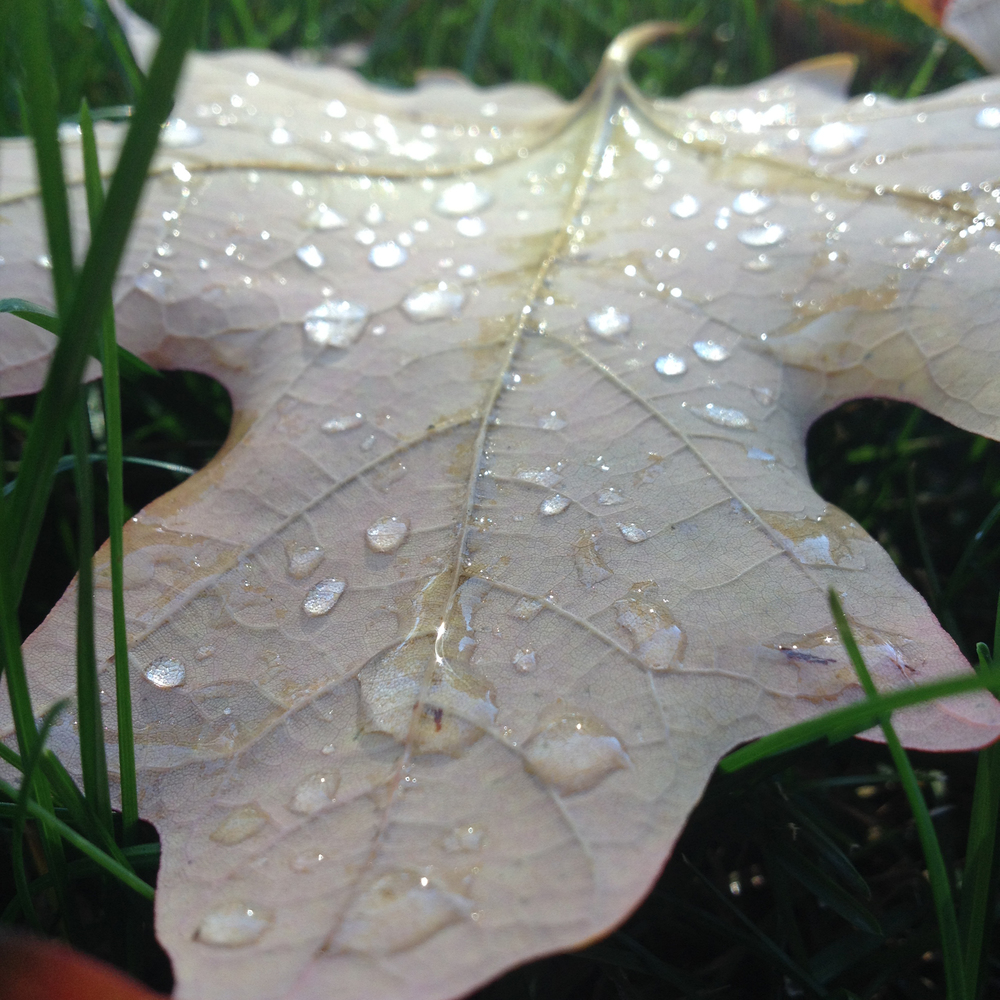 Dew-Covered Leaf in Autumn, Saint Charles, IL