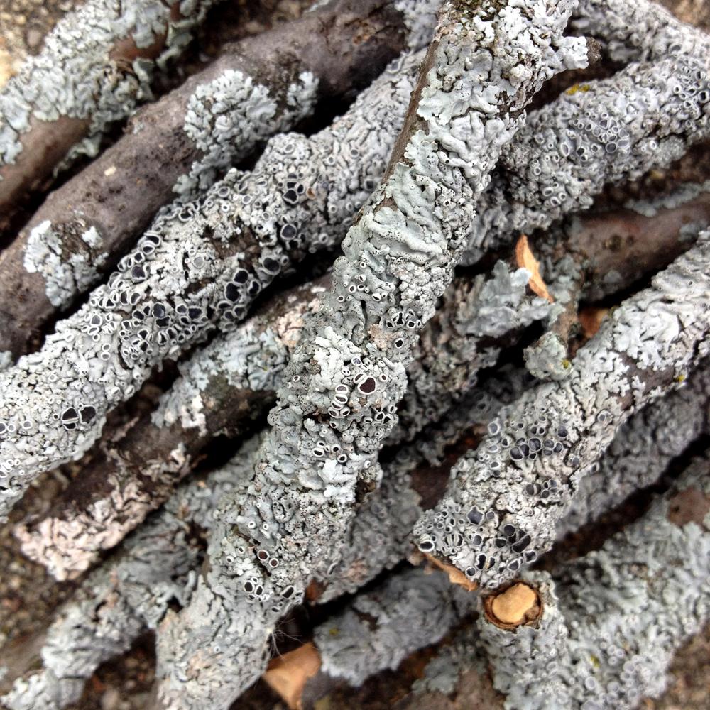 Lichen covered branches
