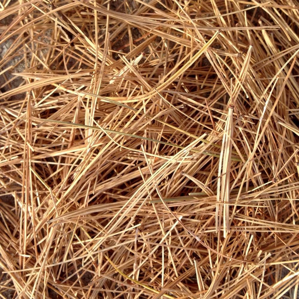 Dry pine needle