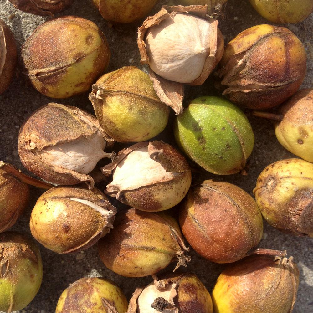 Tree nut with husk