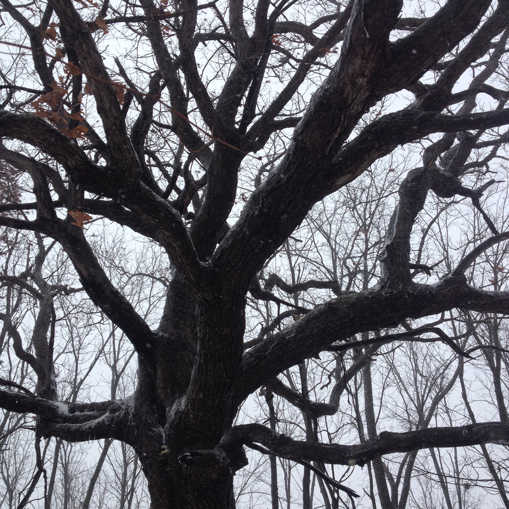 Oak in a Snowy Wood, Shabbona, IL