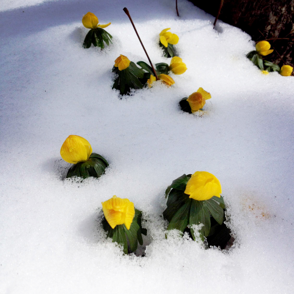 Flowers Through the Snow, Saint Charles, IL