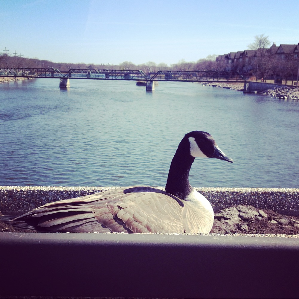 Goose at Fox River, Saint Charles, IL