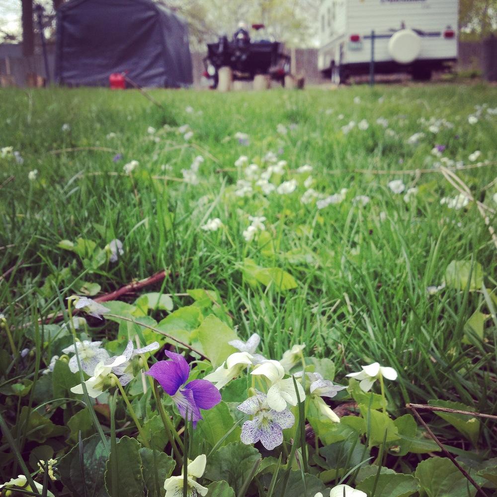 Backyard Violets, Spring 2015, Saint Charles, IL