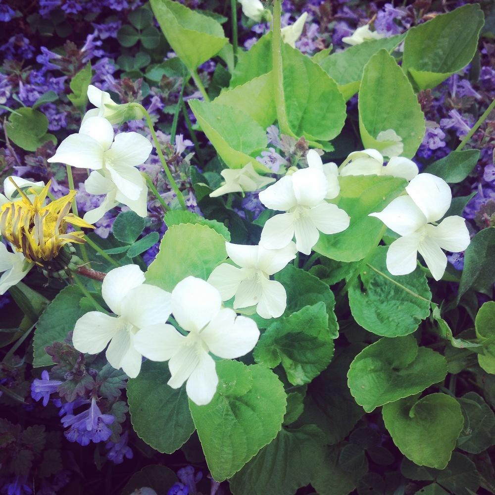 White Violets, Saint Charles, IL