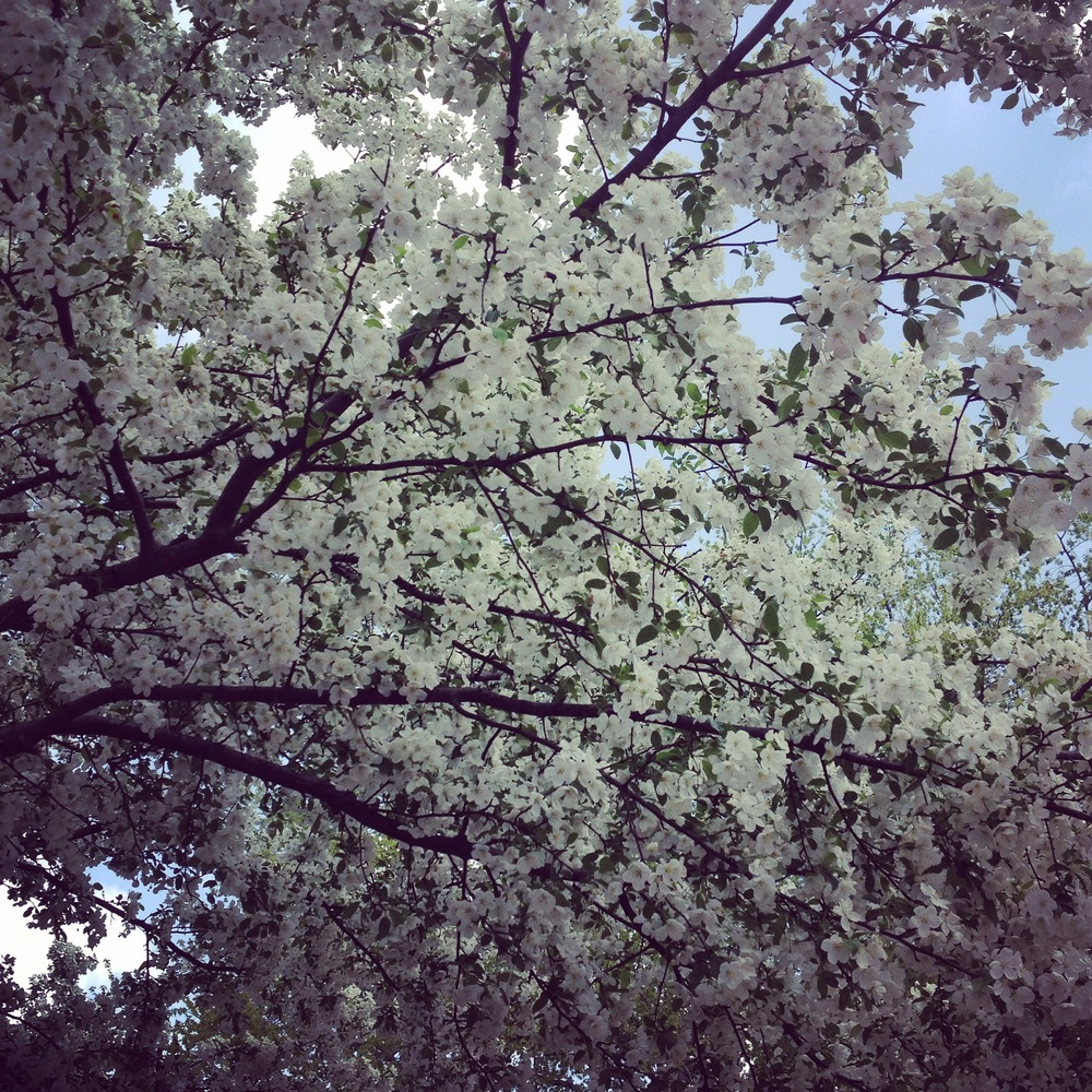 Blossoming Tree in Spring, Saint Charles, IL