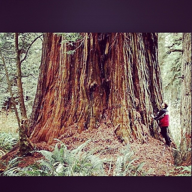I've never seen large redwoods like this in person. I'd love to experience that.  #redwoods #nature # bucketlist