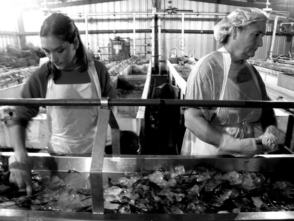 Crawfish sorting, Louisiana