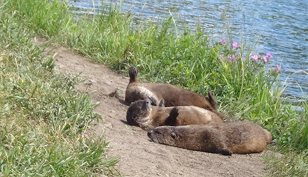 Otters sunning on the bank of Trout lake