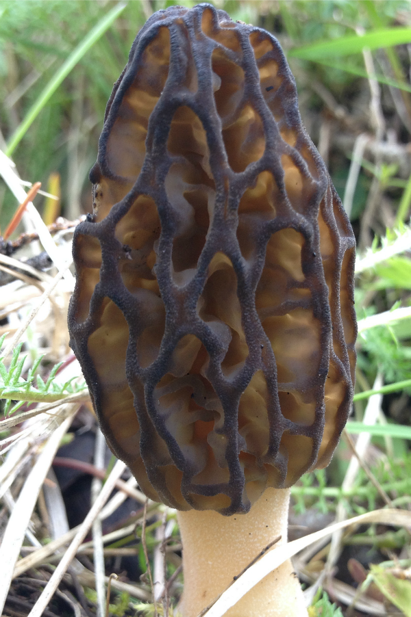 Not a wildflower, but a tasty-looking morel mushroom.