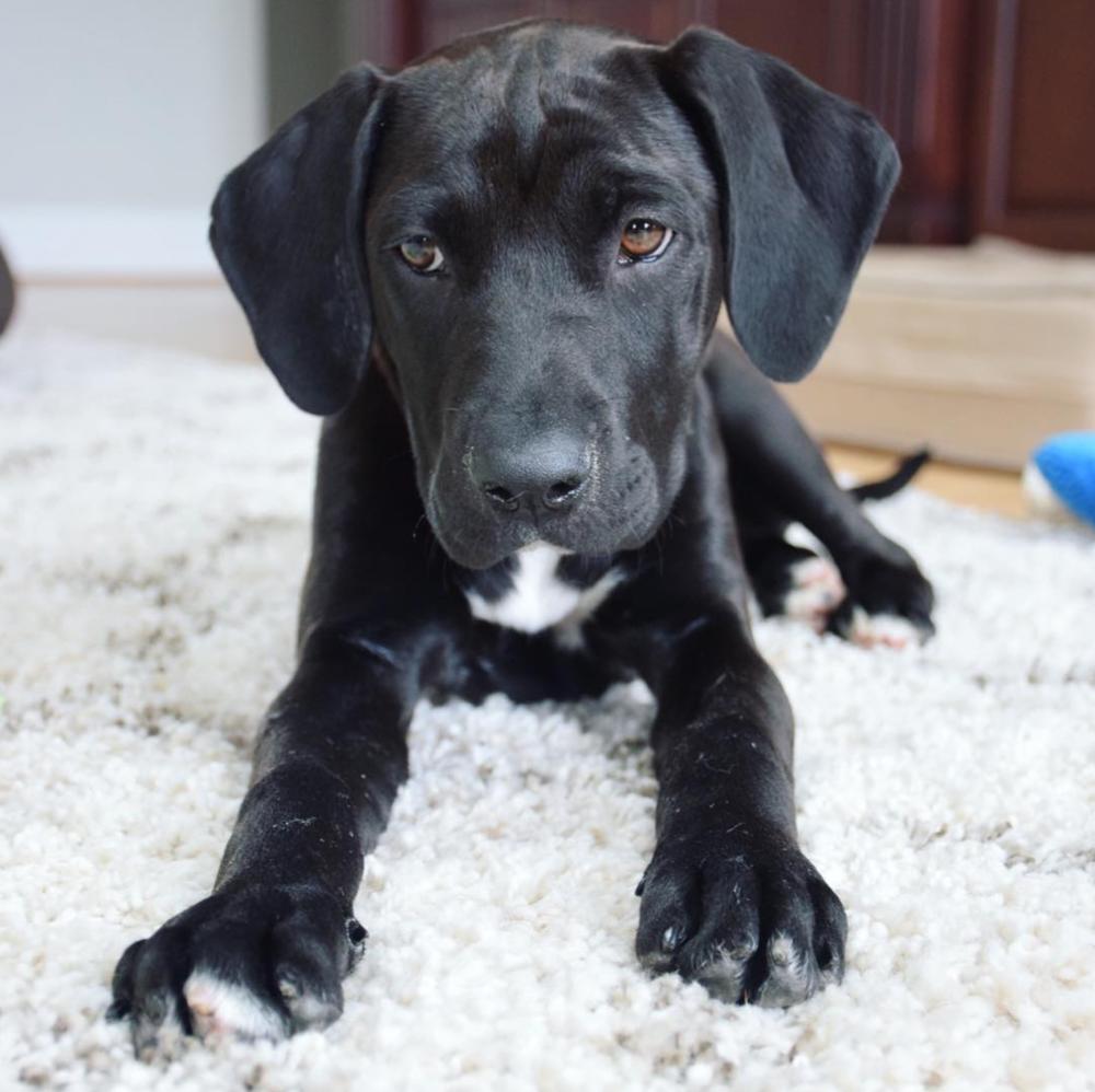black-pit-puppy