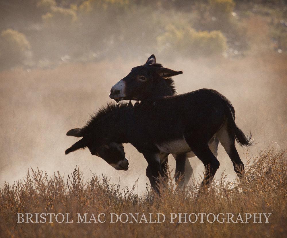 Wild Burros 9
