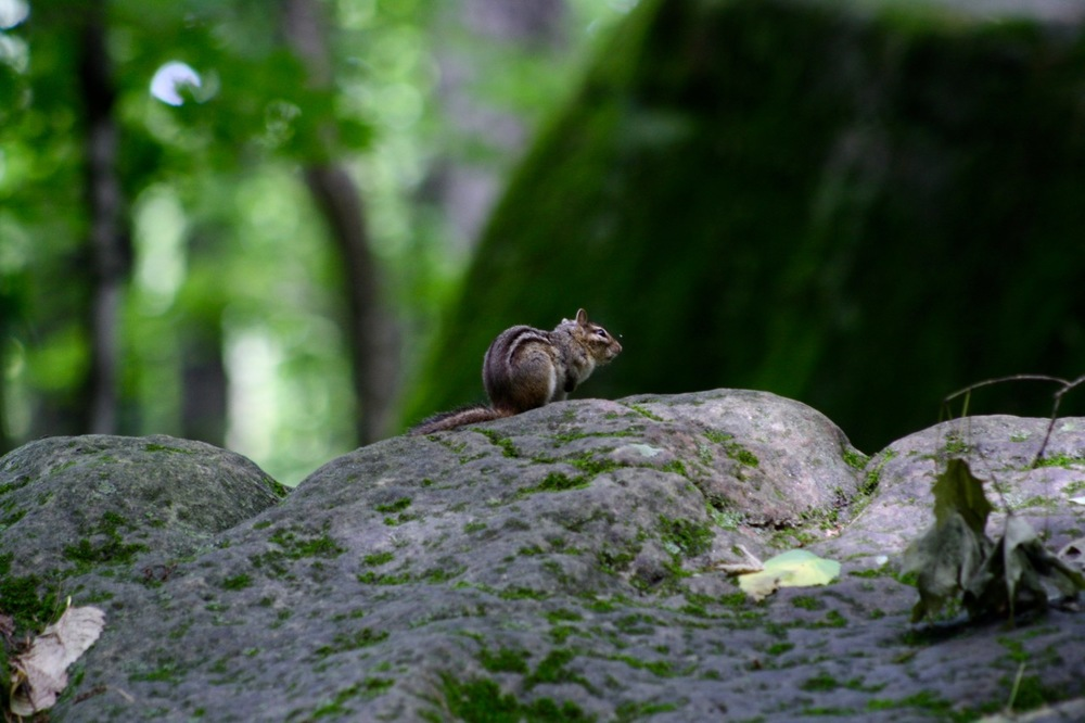Chipmunk, Governor Dodge State Park