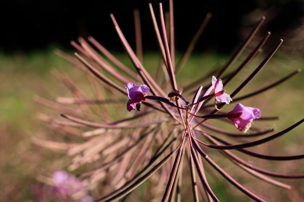 Last petals, Fireweed