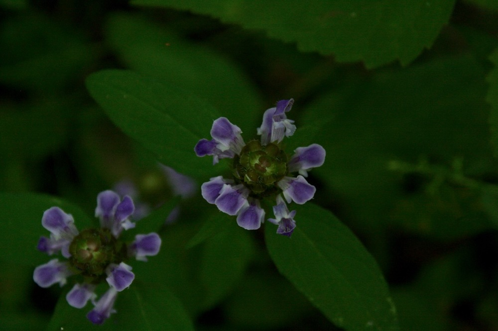 Heal-All (Prunella Vulgaris)