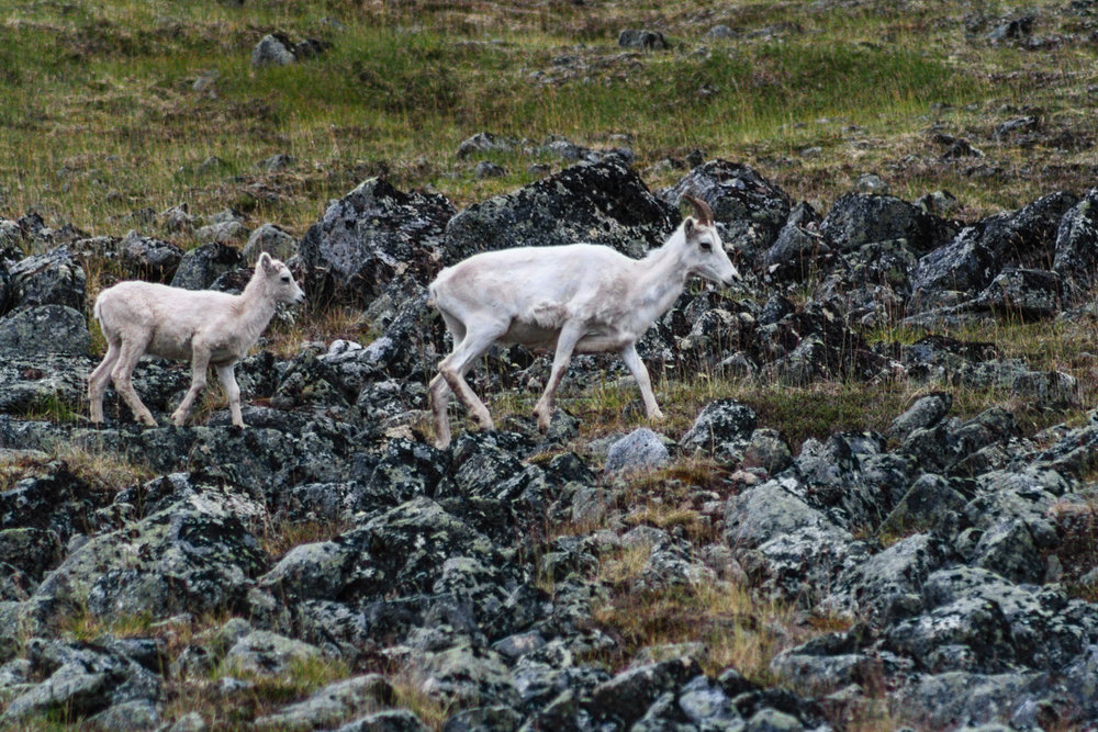 Dall sheep.jpg