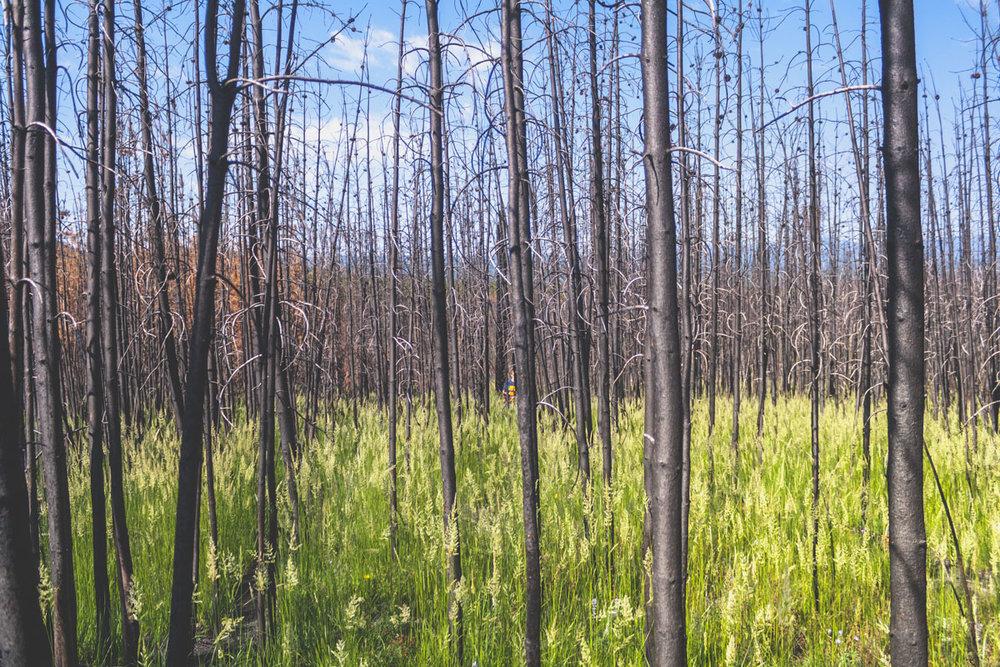 Brandhärjad skog med gräs