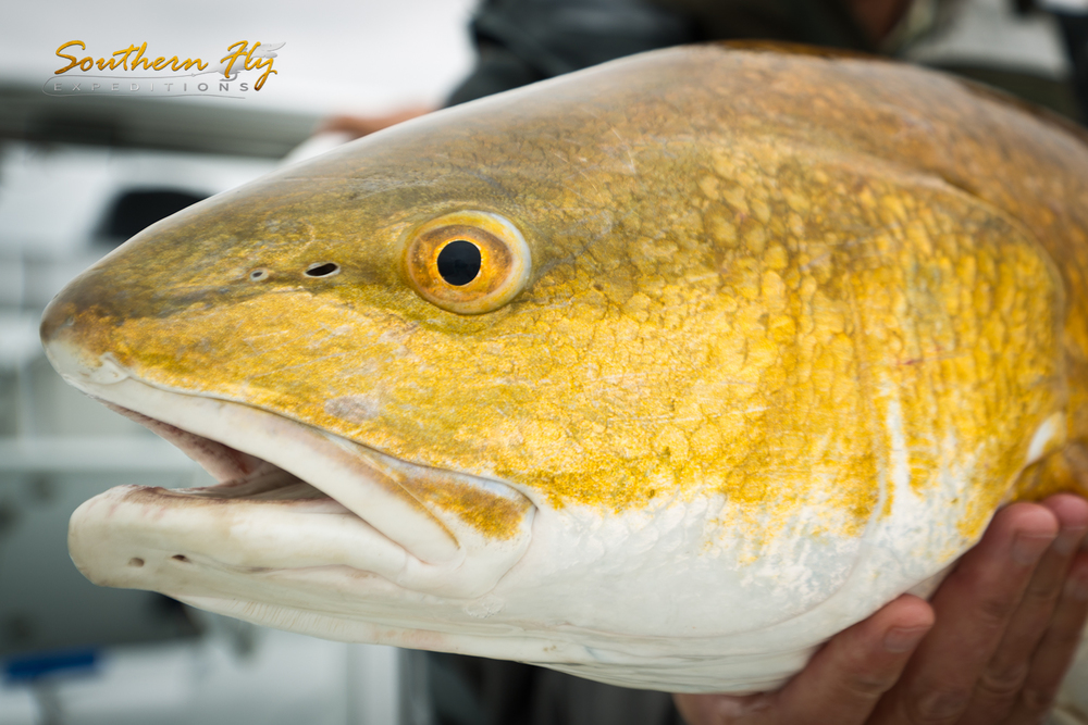 Salt Water Fly Fishing for Redfish in Louisiana