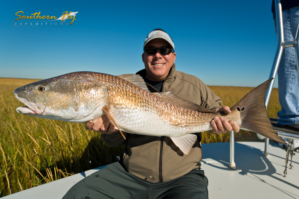 Monster Bull Red Salt Water Marshes Louisiana