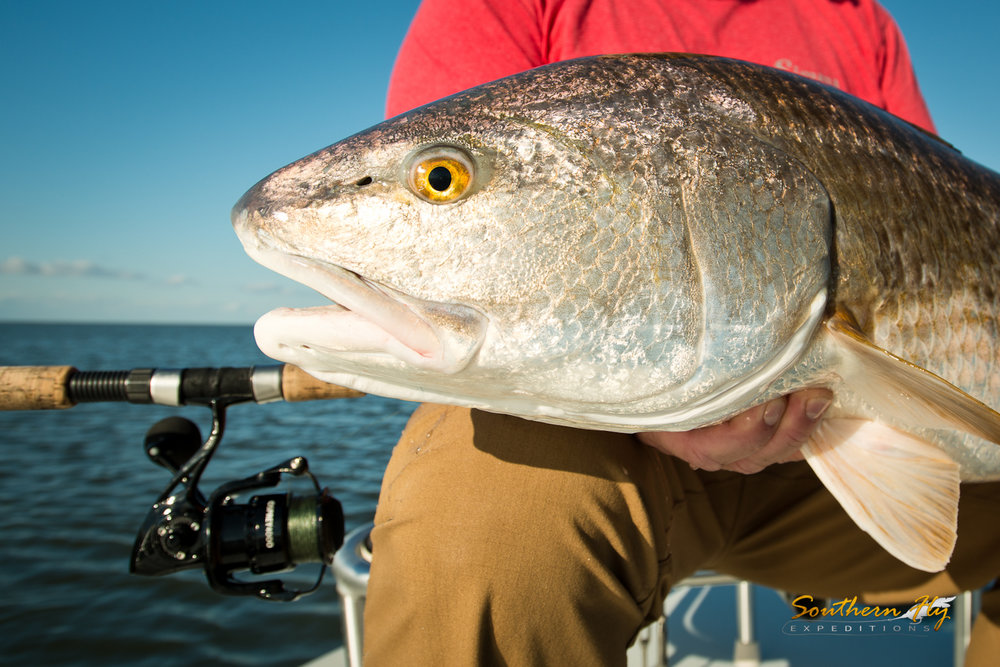 Monster Red Drum Fly Casting Louisiana Marsh Southern Fly Expeditions