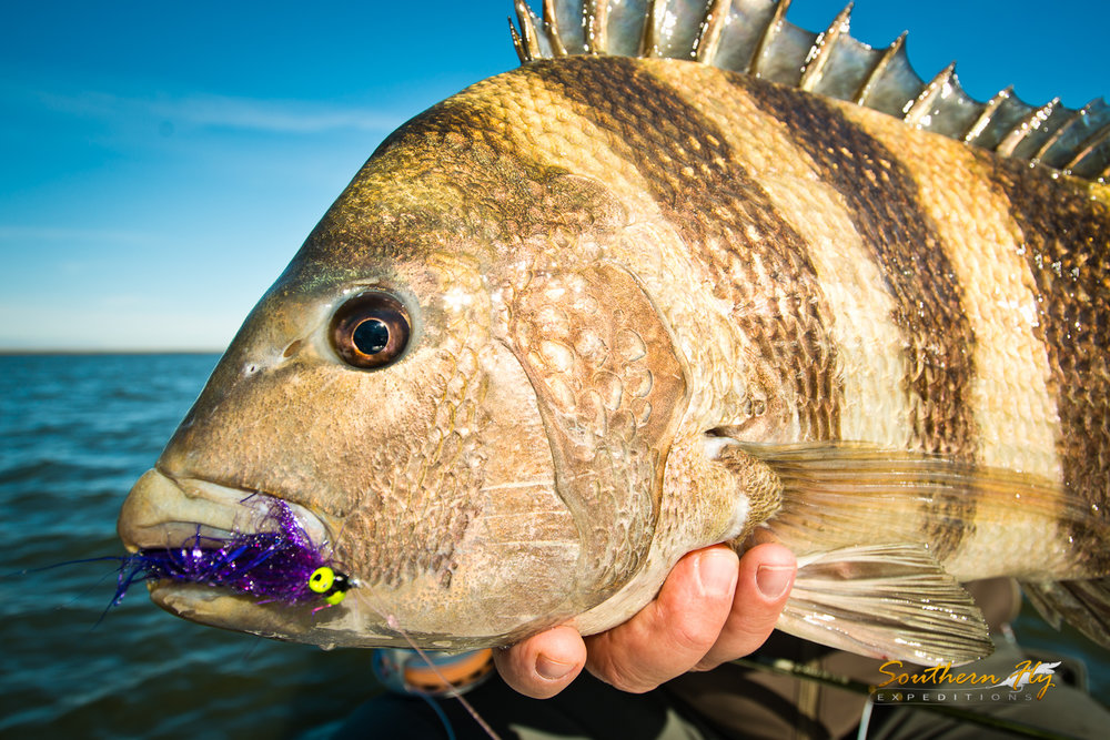 Sheepshead Light Tackle Fly Fishing New Orleans Southern Fly Expeditions