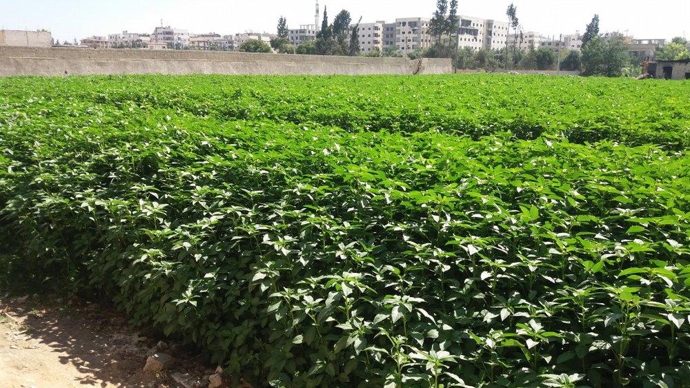 Vegetable garden 3.jpg