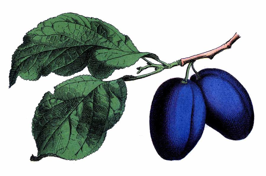 vintage damson plums.jpg