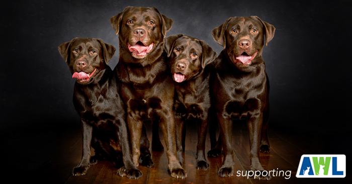 labrador photography 4.jpg