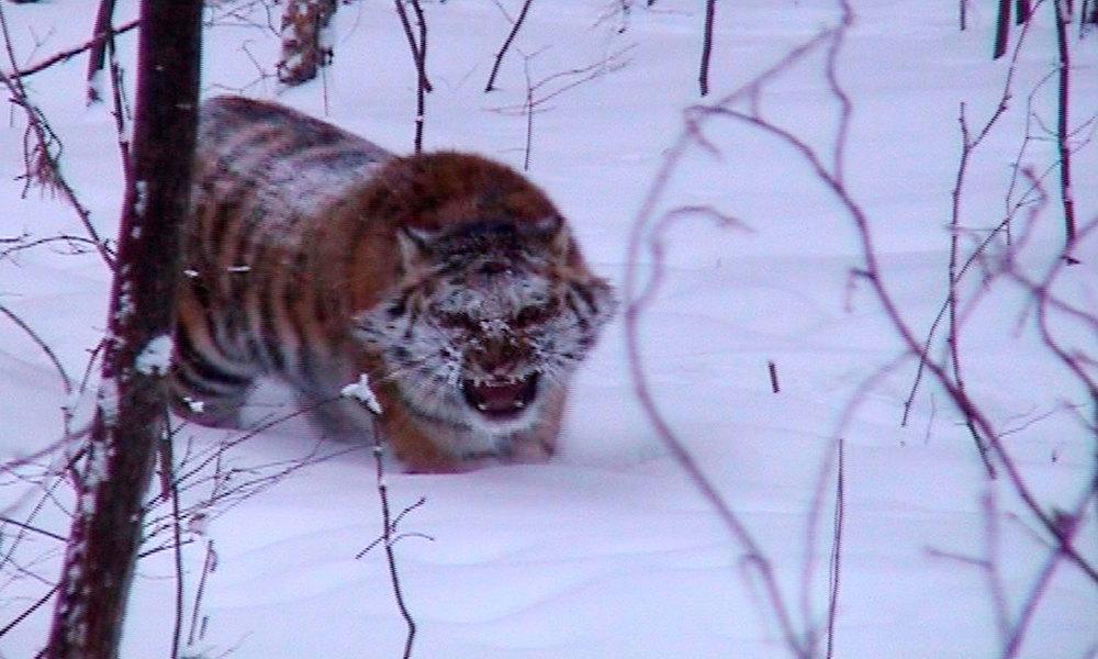 05_Tiger_Stalk-WEB.jpg