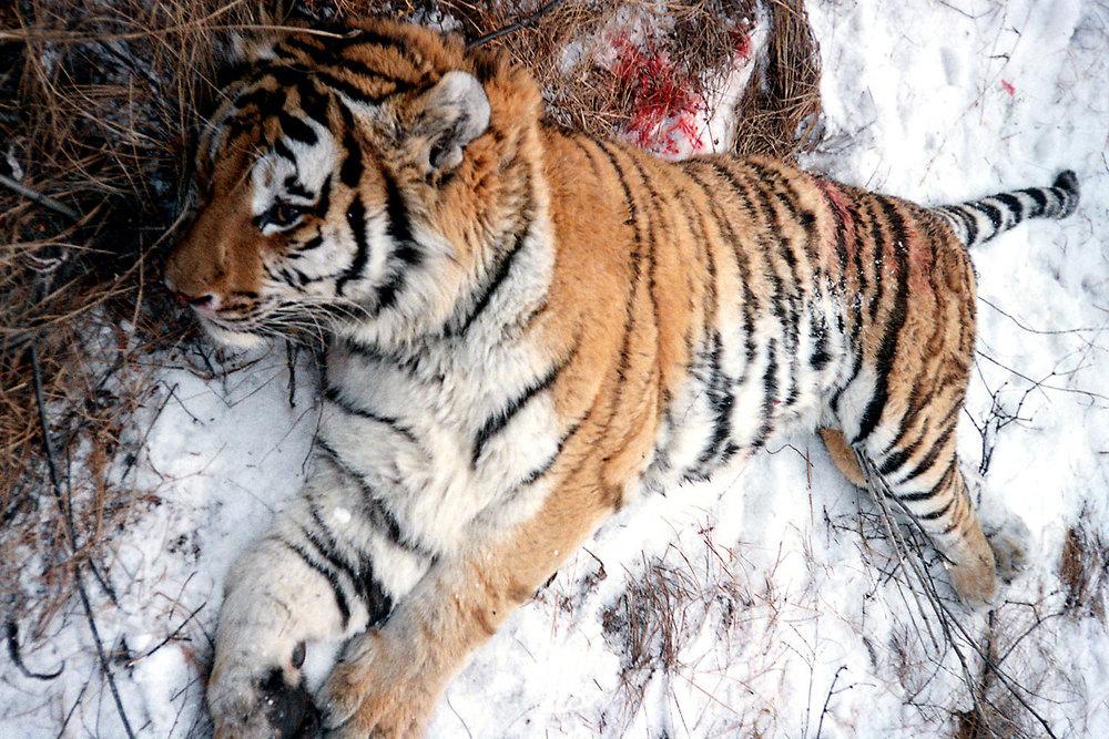 25_Dead_Tiger-WEB.jpg