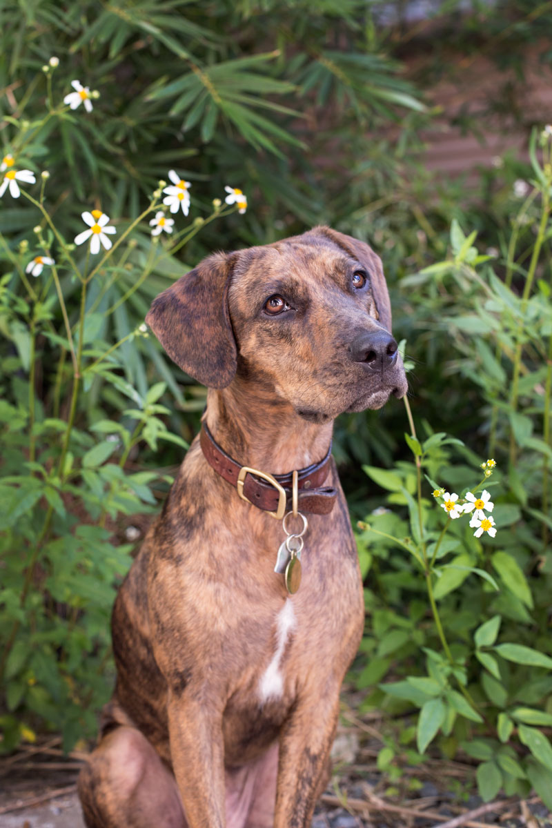 Clover Gant-Deming   Greeter, Shop Dog   Clover is a Plott Hound / Catahoula mix from a St. Augustine rescue shelter. She was born without a tail, and her favorite activities involve chasing lizards, swimming in the ocean, and sleeping on the office couch.  Clover loves everyone, even the postman. If she really loves you, she might even give you a high-five.