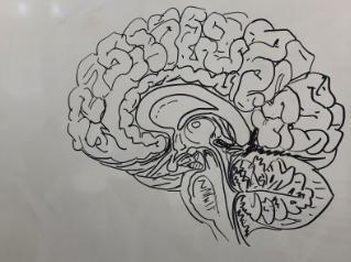 Kelleher Brain Sketch 2019