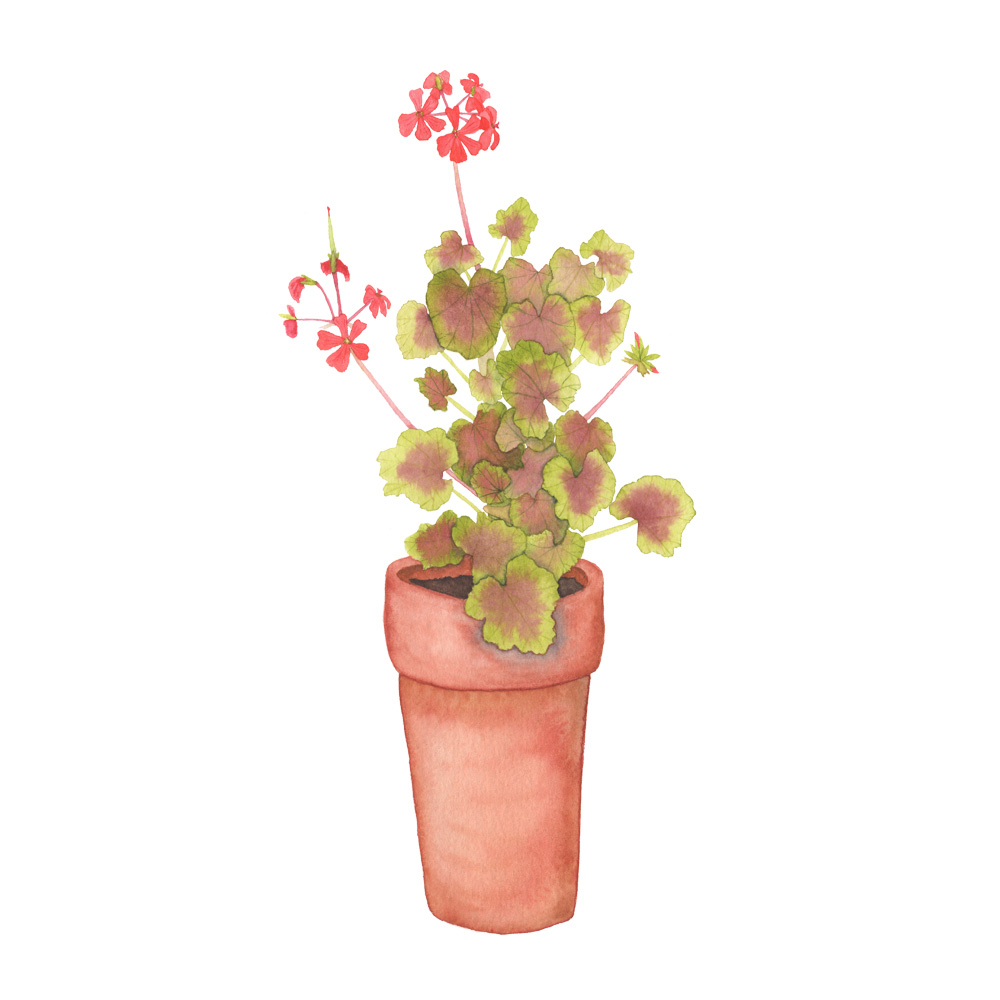 Green and Red Leaf Geranium in a Clay Pot