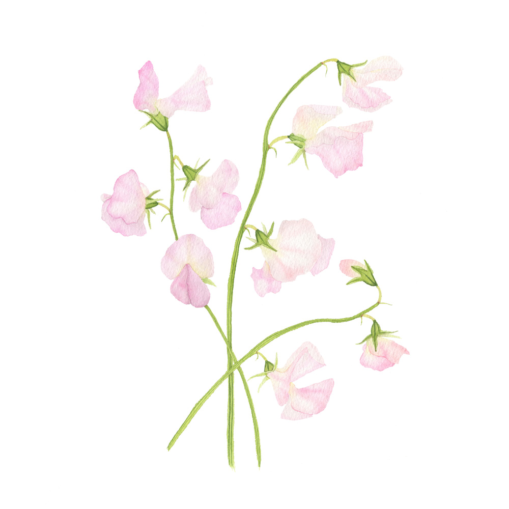 Incense Peach Sweet Peas by Anne Butera