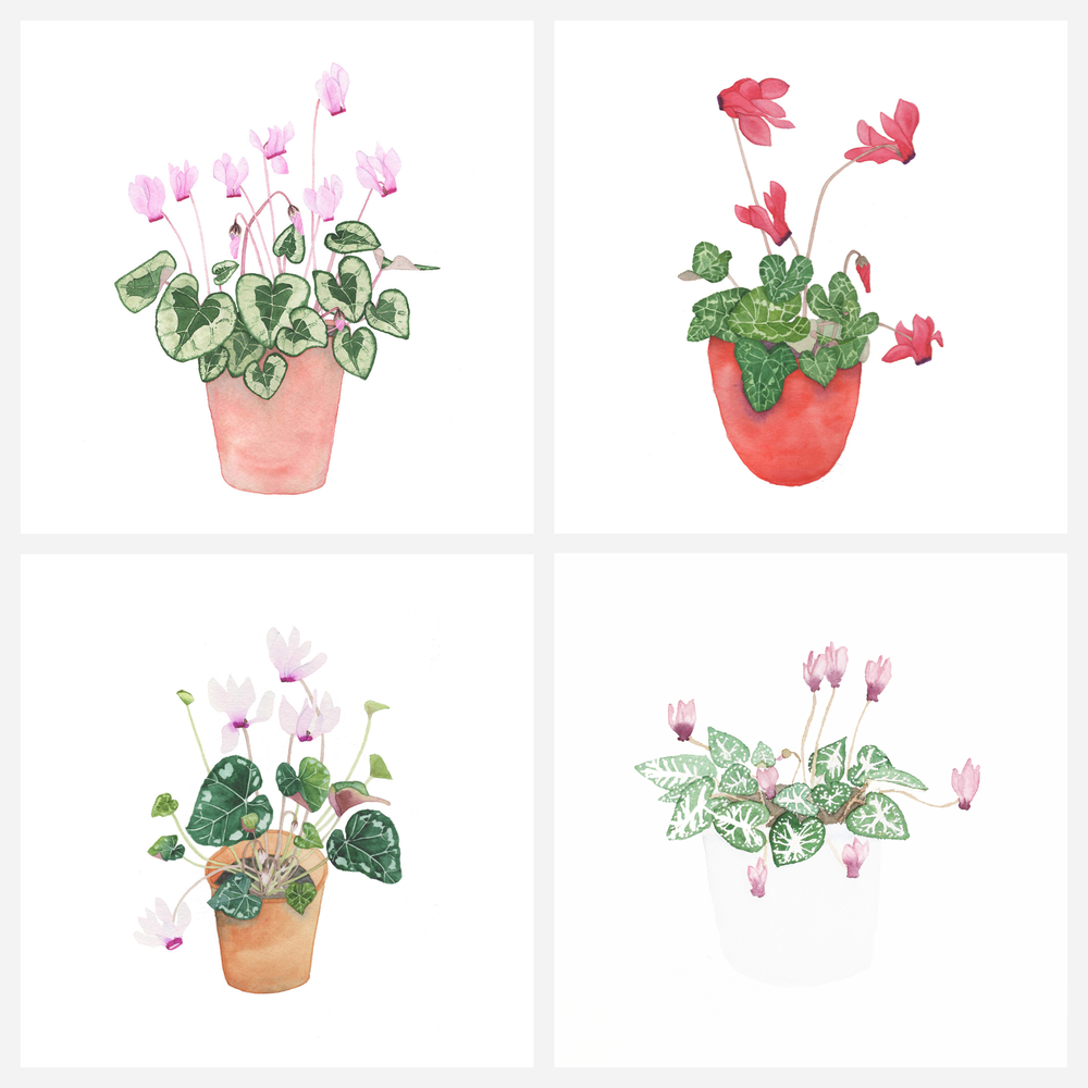 Four Cyclamen Painted Over the Span of My Art Journey