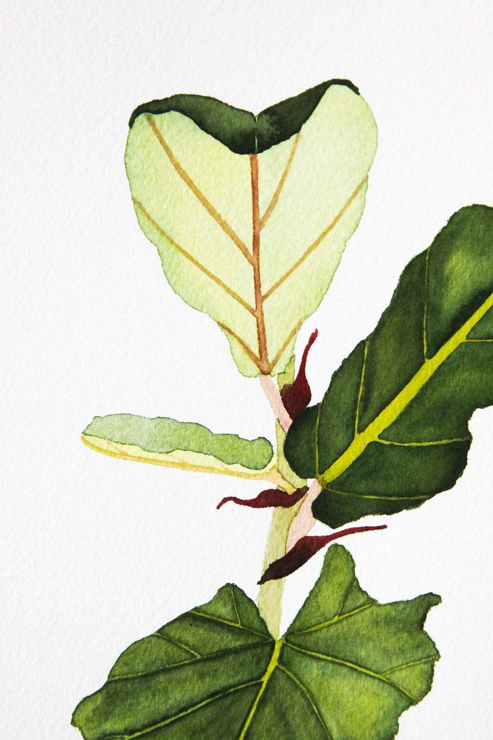 fiddle leaf fig watercolor painting