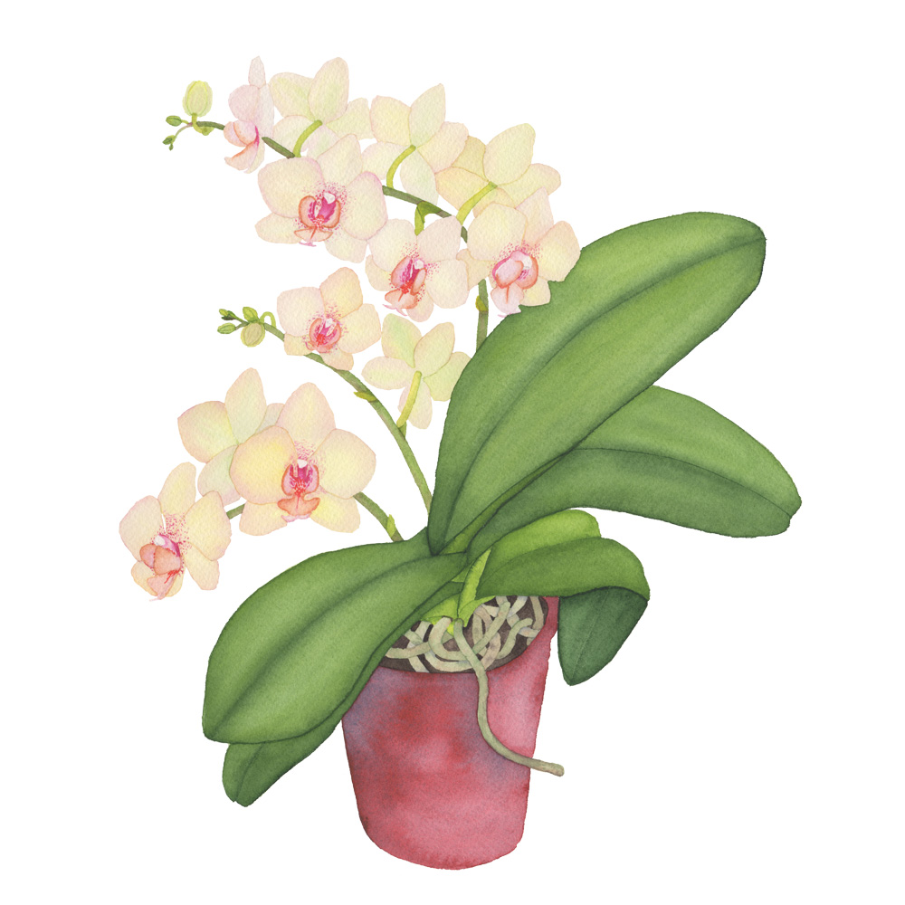Peach Orchid Watercolor Painting