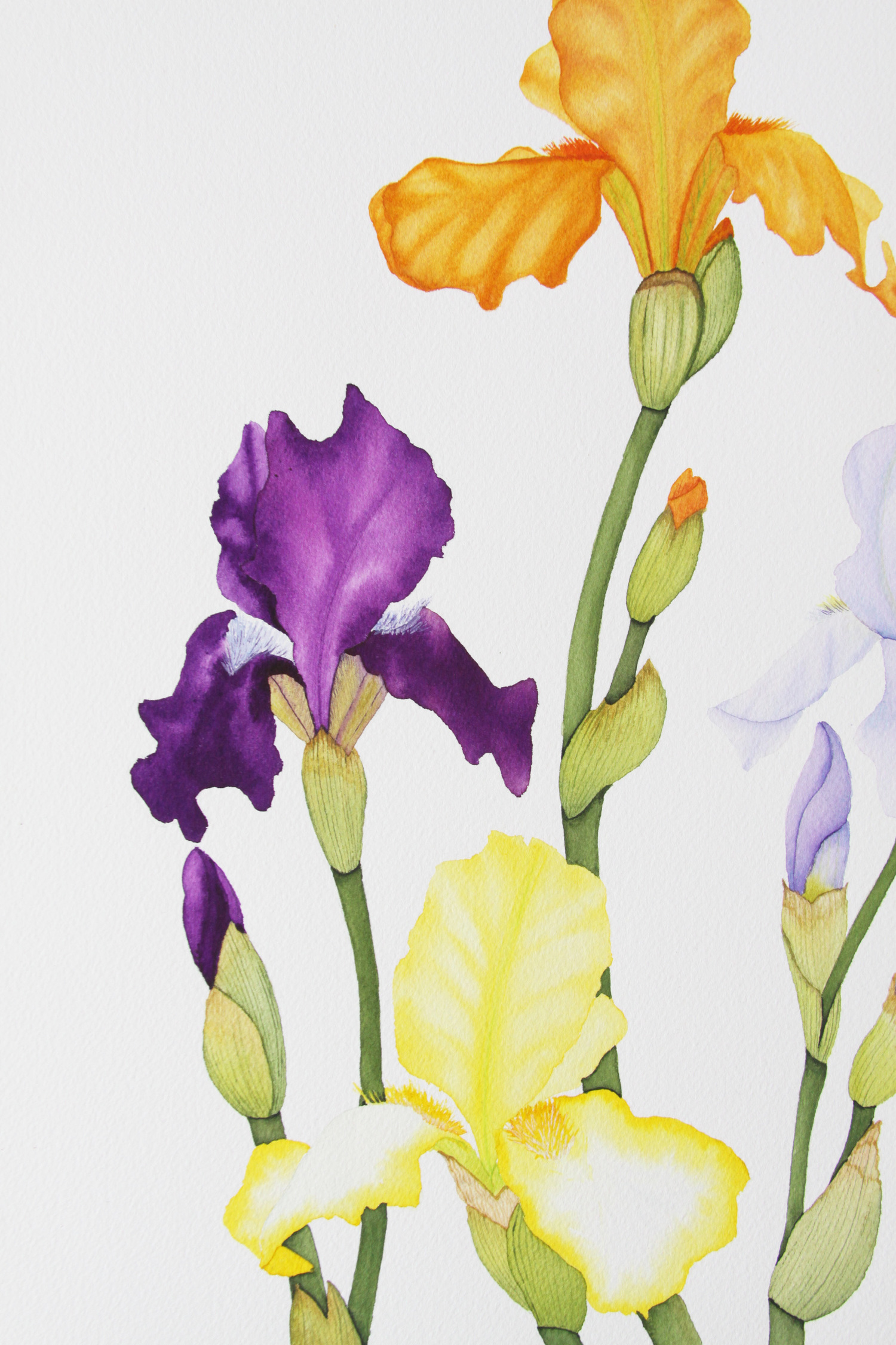 Colorful spring iris watercolor painting my giant strawberry colorful spring iris watercolor painting izmirmasajfo