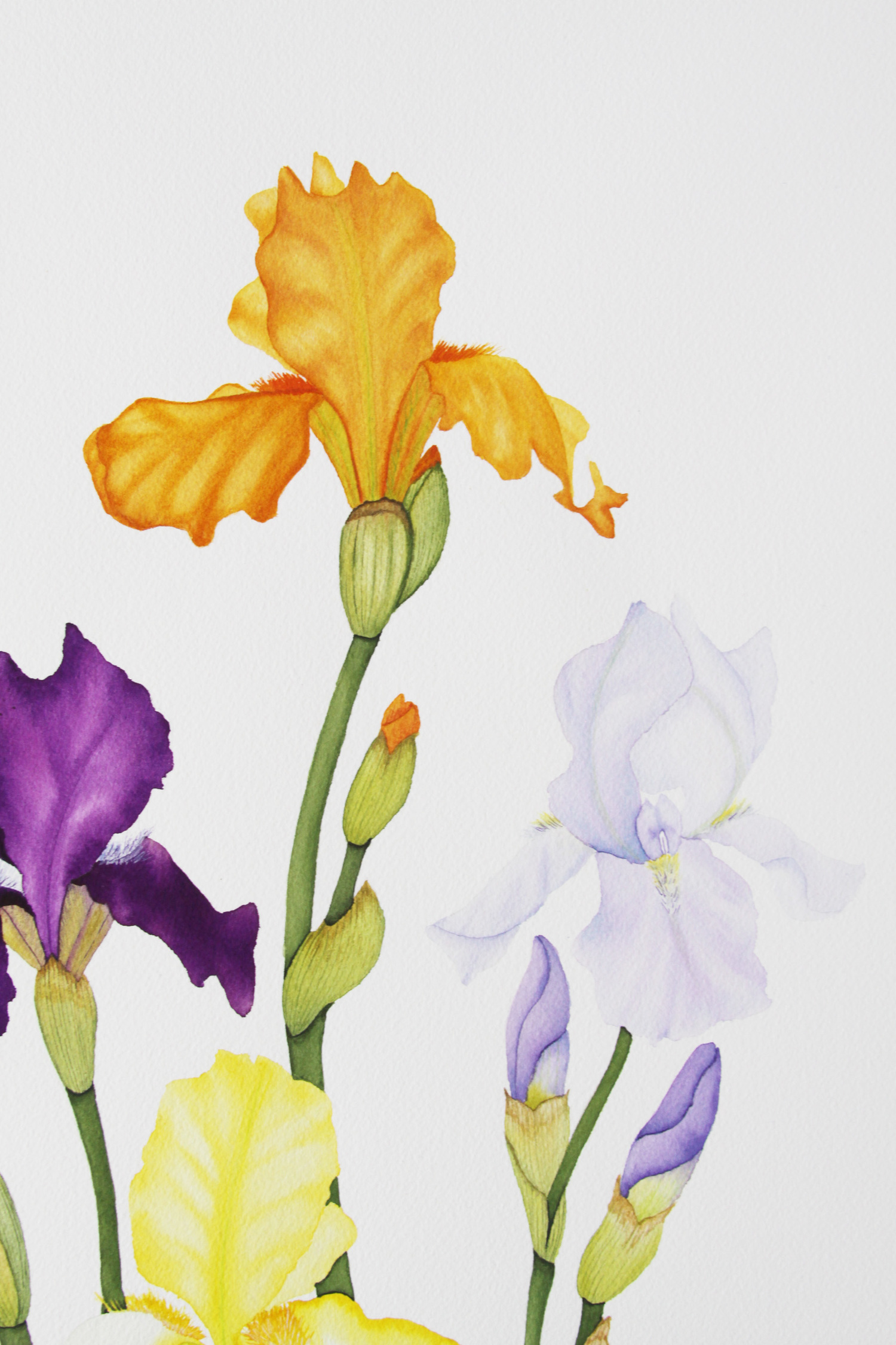 Colorful Spring Iris Watercolor Painting My Giant Strawberry