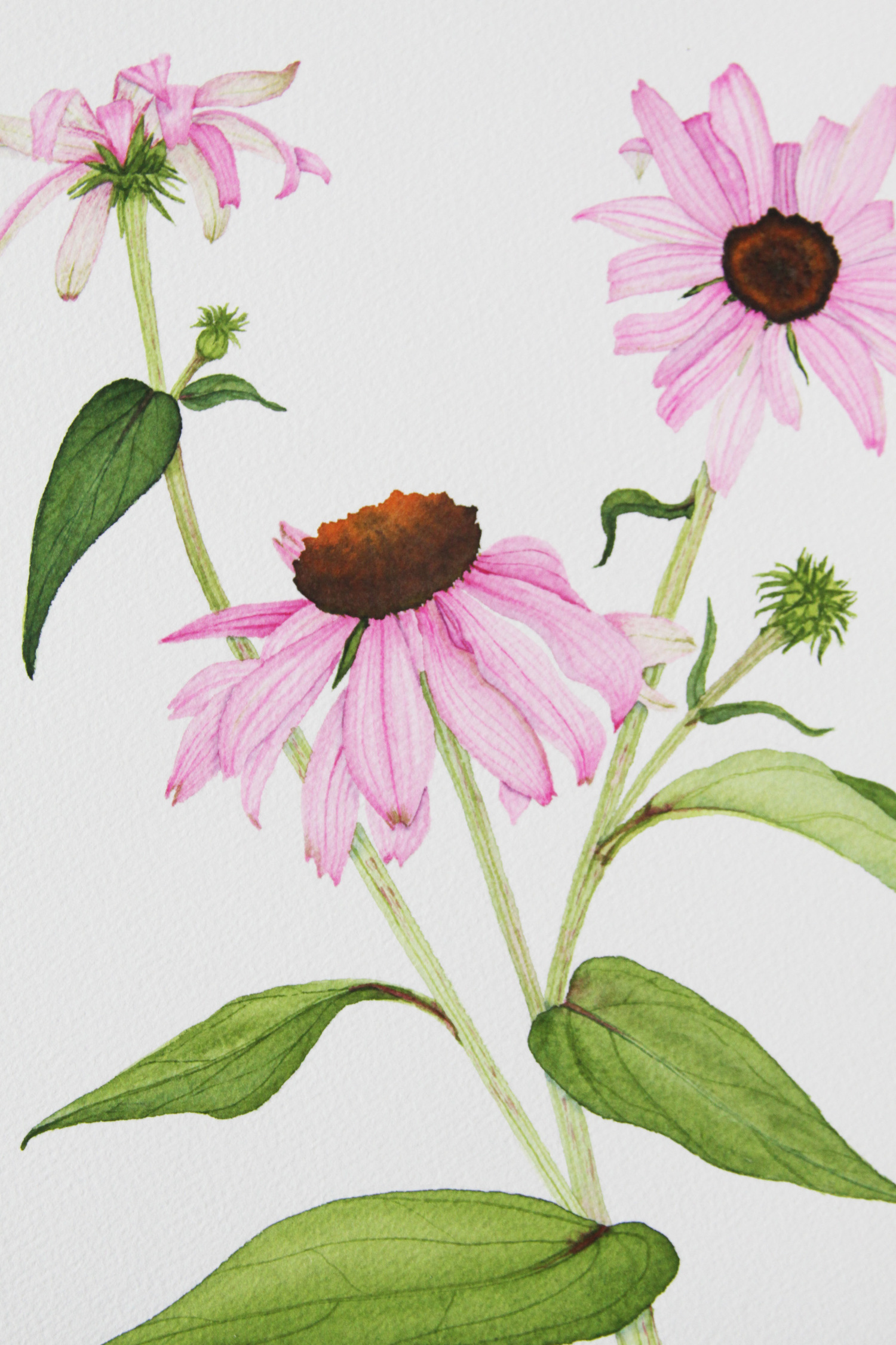 Purple Coneflower Watercolor Painting My Giant Strawberry