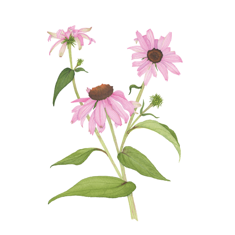 Purple Coneflower Watercolor Painting